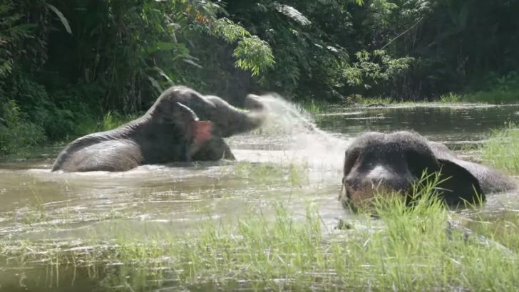 Two Elephants Have Fun In The Water For The First Time In a Long Time